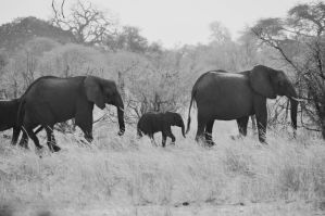 Elephants II by Caatherinee