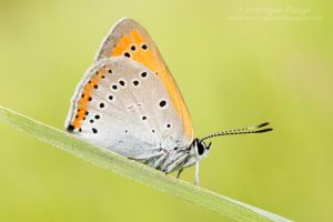 16. Lycaena dispar by Kaasik91