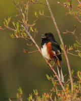Male Rufous Towhee 2011 by natureguy