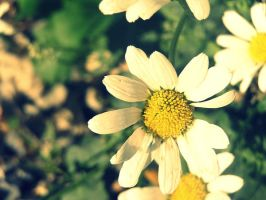 White daisy. by Triwingz