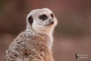 Meerkat by EdgedFeather