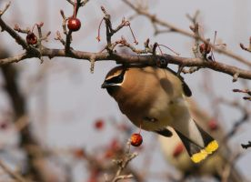 Cedar Waxwing III by natureguy