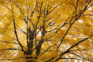 Yellow tree in autumn by Mioko001
