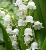 Lily of the valley by Harmina