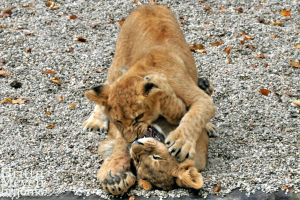 Cub Fight by brijome