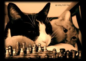 cat's play chess II by kittycat9