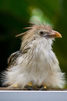 6942 - guira cuckoo by Jay-Co