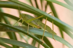 Green Grasshopper by stevecliff