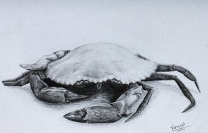 Mud Crab Drawing by FireDragon22