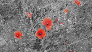Poppies by Big-D-pictures