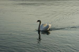 Swan 1 by Stichflamme-Stock