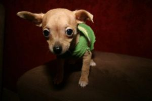 Sweater Puppy by Photopersuasion