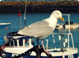 Herring Gull by Cherry-Cheese-Cake