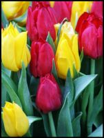 Tulips by Tricia-Danby