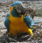 Bird 274 - macaw making nest by Momotte2stocks