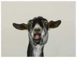 funny face goat by wesgrass