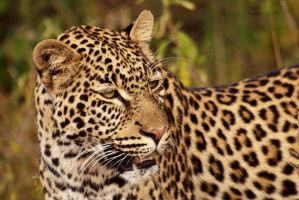 Young leopard in the morning by psychostange