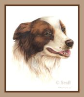 Border Collie by Seaff