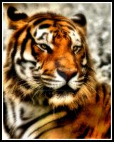 Tiger for My Love HDR by AmethystUnderwood