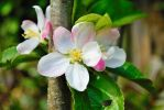 apple blossom by theicecoldlava