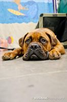 Young Mastiff by snak