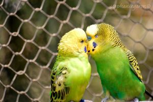 a kiss parakeet by stepheesmq