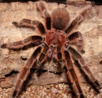 rose tarantula by nullboy