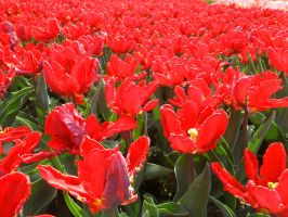 Red Tulips by TheNamelessOne666