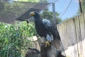 steller's sea eagle 5.5 by meihua-stock