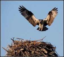 Incoming Osprey by Ryser915