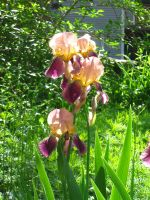 Ann's irises by crazygardener