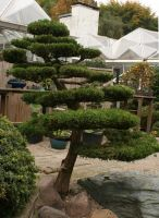 big bonsai tree by Nexu4