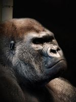 Silverback at Rest by papatheo
