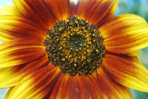 Sunflower By Design 2 by GrnDrgn