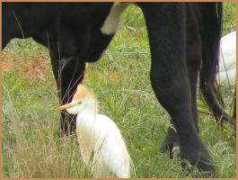 Cattle Egret II by SuicideBySafetyPin