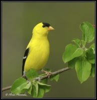Goldfinch 11 by Ptimac