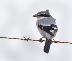 It's a bit windy - Great Grey Shrike by Jamie-MacArthur