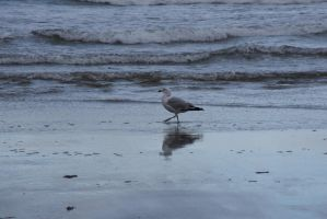 The Beach Reflection, Seagull 4 by Miss-Tbones