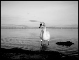 Swan nothingness by Malcolm21