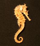 Seahorse 01 by jaded-reflection