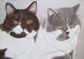 Two British Shorthair cats by mo62