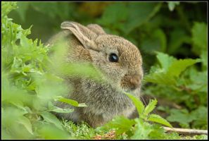 Baby Wild Rabbit by nitsch