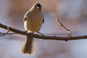 Tufted Titmouse 6 by bovey-photo