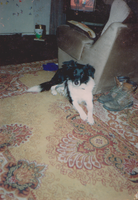 Cleo a young collie 2 by WhippetWild