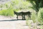 Wild Arizona Donkeys by SwordOfScotland
