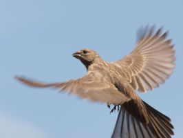 Finch Flying by photographyflower