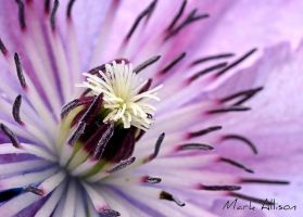 Clematis by Mark-Allison