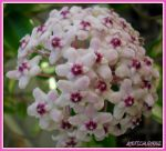 Hoya bloom by NotablePhotography