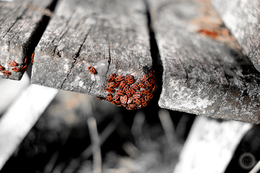 Coccinellidae by diogobarbosadb