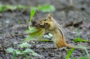 Eastern chipmunk by GuillaumGibault